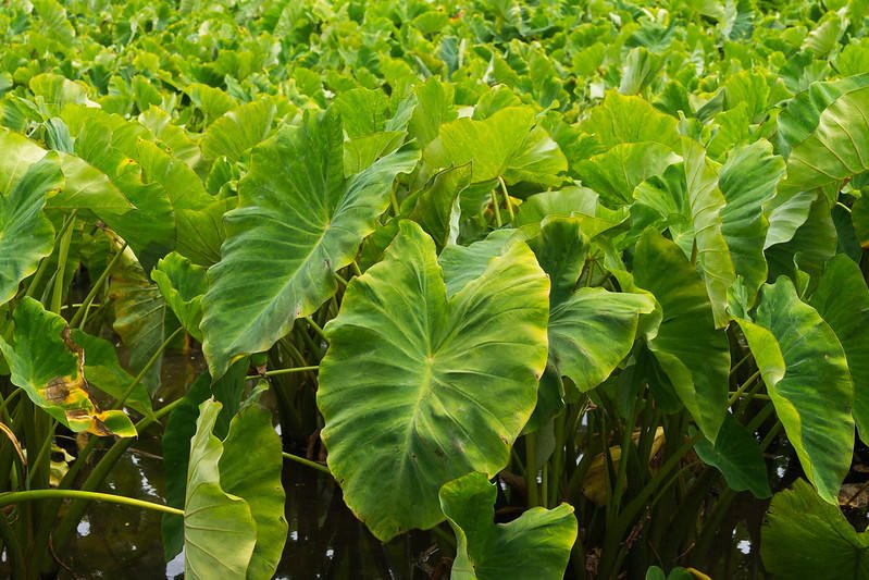 Leaves of the kalo (taro) plant