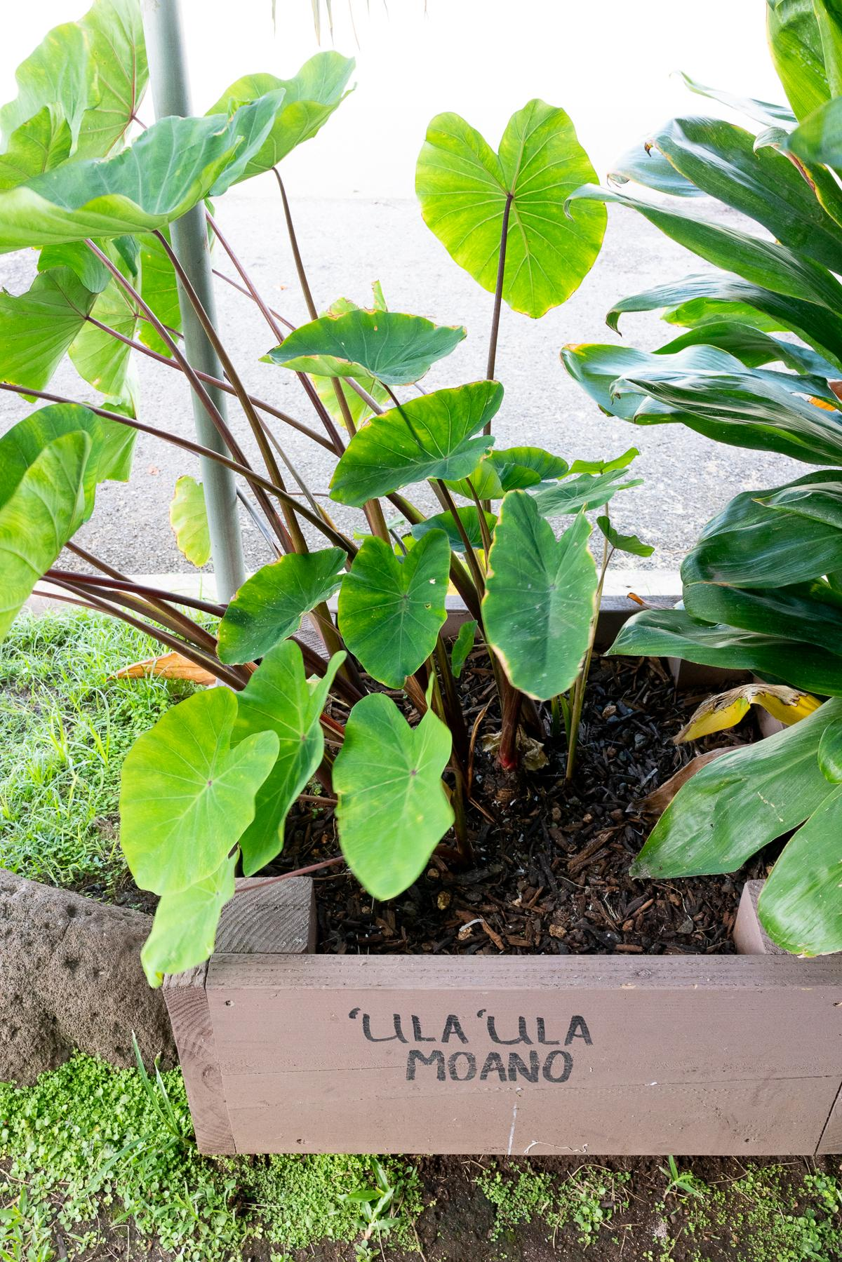 A planter with fresh kalo (taro)